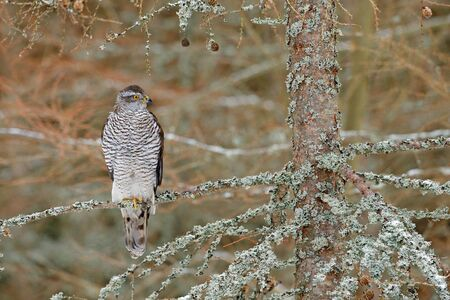 Goshawk in forest. Birds of prey Goshawk sitting on the branch in fallen larch forest during autumn. Wood animal, wildlife scene from nature. Goshawk in Norway nature. Bird, wood habitat, Europe bird.