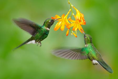 Two flying hummingbird, bird in fly. Action scene with hummingbird. Tourmaline Sunangel eating nectar from beautiful yellow flower in Ecuador. Wildlife, tropic forest. Hummingbird with orange flower.