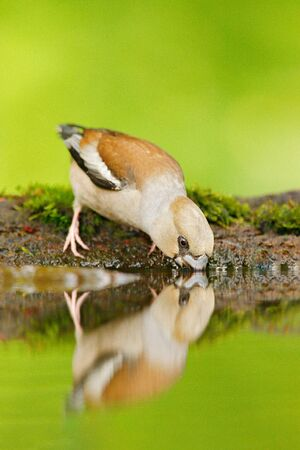 Beautiful songbird, Hawfinch, Coccothraustes coccothraustes, brown songbird sitting in the water.