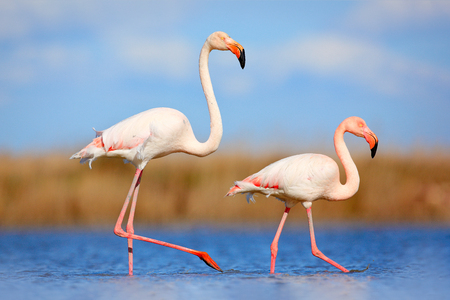 Pair of flamingos. Bird love in blue water. Two animal, walking in lake. Pink big bird Greater Flamingo, Phoenicopterus ruber, in the water, Camargue, France. Wildlife bird behaviour, nature habitat.