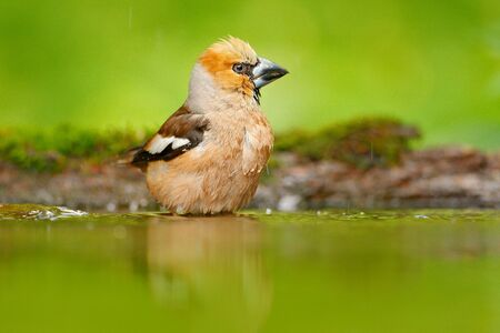 Hawfinch, Coccothraustes coccothraustes, brown songbird sitting in the water, nice lichen tree branch, bird in the nature habitat, spring - nesting time, reflection, mirroring Germany. Song bird water.