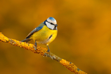 Blue Tit, cute blue and yellow songbird in winter scene, snow flake and nice snow flake and nice lichen branch, Germany, Face portrait. Cute little bird in the nature. Beautiful evening autumn light. Stock Photo