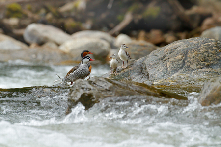 Torrent duck, Merganetta armata, pair of bird with young in mountain river with stone. Rare duck from Ecuador. Wildlife scene from nature. two bird in the water. Torrent duck family, stream habitat. Stock Photo