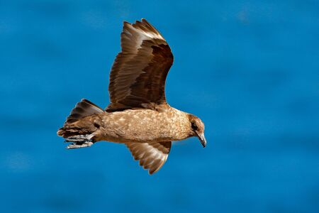 Skua flight. Brown skua, Catharacta antarctica, water bird flying above the sea., evening light, Argentina. Bird fly with blue ocean in the background.  Stock Photo