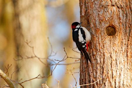 Specht, portret van rode GLB-vogel dichtbij nestgat. Grote Bonte Specht, vogel in de habitat, zwart-wit dier, Tsjechische Republiek. Detailvogel met duidelijke groene achtergrond.