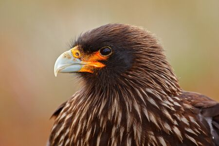 Caracara sitting in the grass in Falkland Islands, Argentina. Caracara in the nature habitat. Detail portrait of caracara. Close-up Portrait of birds of prey Strieted caracara, Phalcoboenus australis. Stock Photo