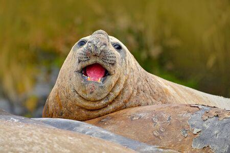 Seal on the sand beach. Elephant seal with peel off skin. Big sea animal in the nature habitat in Falkland Islands. Elephant seal in the nature. Detail face portrait Elephant seal, Mirounga leonina. Banco de Imagens