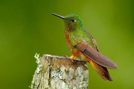 Bird from Peru. Orange and green bird in the forest. Hummingbird Chestnut-breasted Coronet, Boissonneaua matthewsii in the forest. Hummingbird from Peru clouds forest. Hummingbird sitting on trunk. Stock Photo