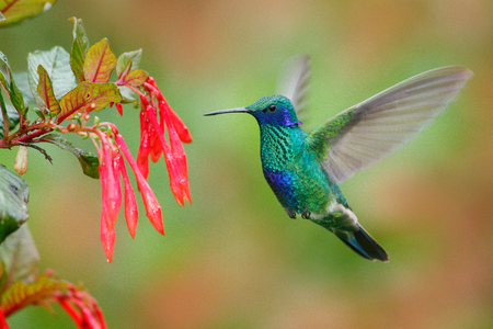 Hummingbird with red flower. Green and blue hummingbird Sparkling Violetear  flying next to beautiful red bloom. Wildlife scene from nature. Birdwatching in Ecuador. Hummingbird from Tandayapa.