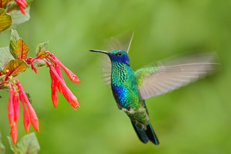 Flying bird. Bird with red flower. Bird in the forest. Bird in fly. Action scene with bird. Green and blue bird. Bird from Ecuador. Green Violet-ear, Colibri thalassinus, green hummingbird in nature. 版權商用圖片
