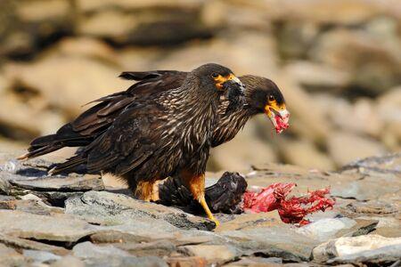 Feeding scene. Birds of prey Strieted caracara, sitting in on the rock, Falkland Islands, Argentina. Bird behaviour. Bird caracara in the nature habitat. Bird with kill carcass. Caracara with food. Stock Photo