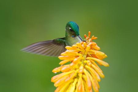 Bird sucking nectar. Hummingbird Long-tailed Sylph eating nectar from beautiful yellow strelicia flower in Ecuador. Flower with hummingbird.