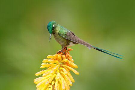 Nectar suceur d'oiseaux. Colibri Sylphe à longue queue mangeant du nectar de belles fleurs de strelicia jaune en Equateur. Fleur avec colibri. Banque d'images - 95563223
