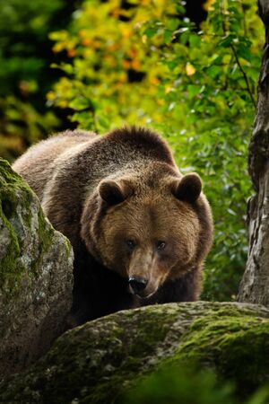 Brown bear, Ursus arctos, hideen behind the green moss stone. Face portrait of brown bear. Bear with open muzzle with big tooth. Brown bear in the nature. Bear in the forest animal, Slovakia.