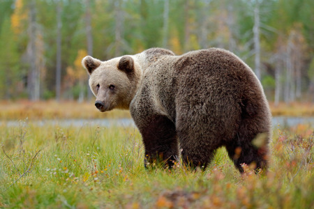 Beautiful big brown bear walking around lake with autumn colours. Dangerous animal in nature forest and meadow habitat. Wildlife scene from Finland near Russia bolder. Bear in the forest.  Stock Photo