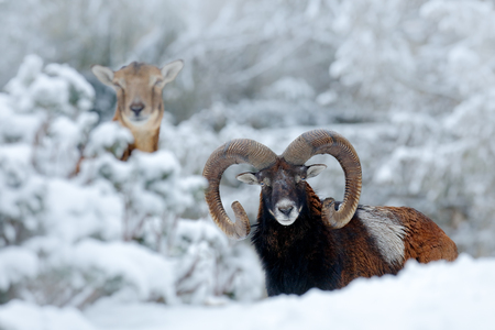 Male and female of Mouflon, Ovis orientalis, winter scene with snow in the forest, horned animal in the nature habitat. Portrait of mammal with big horn, Praha, Czech Republic. Two animals with snow. Stock Photo