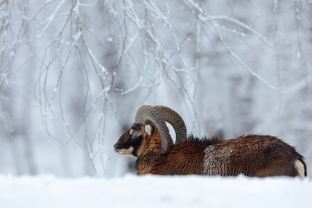 Winter landscape with brown animal. Mouflon, Ovis orientalis, winter scene with snow in the forest, horned animal in the nature habitat, portrait of mammal with big horn, Praha, Czech Republic.