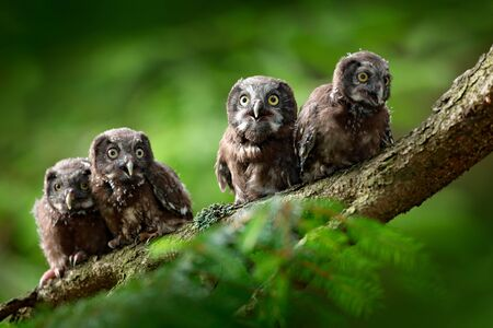 Four young owls. Small bird Boreal owl, Aegolius funereus, sitting on the tree branch in green forest background, young, baby, cub, calf, pup, Sweden. Funny wildlife scene from nature habitat.  Stock Photo