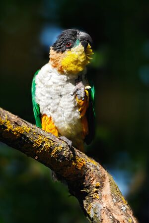 Black-headed Parrot, Pionites melanocephalus, in neture forest habitat. Beautiful parrot from Colombia. Wildlife scene from nature. Bird sitting on the tree branch. Stock Photo