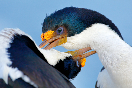 Animal behaviour. Courtship portrait of Imperial Shag, Phalacrocorax atriceps, cormorant from Falkland Islands. Wildlife scene from nature. Two beautiful animals with long bill. Bird love, close-up.