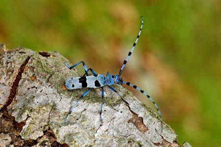 Blue insect. Rosalia Longicorn, Rosalia alpina, in the nature green forest habitat, sitting on the green larch, Czech republic, longhorn beetle, longicorn. Beautiful blue incest with long feelers.