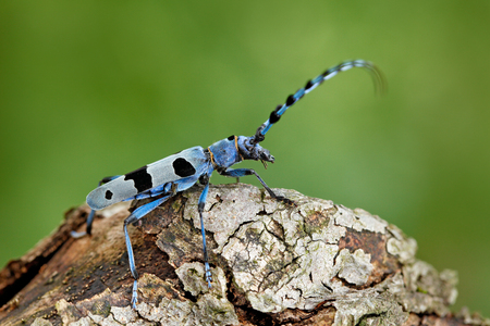 Blue insect. Rosalia Longicorn, Rosalia alpina, in the nature green forest habitat, sitting on the green larch, Czech republic, longhorn beetle, longicorn. Beautiful blue incest with long feelers.