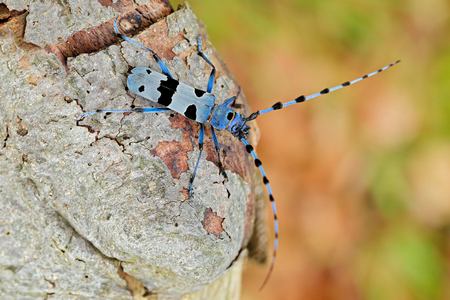 Rosalia Longicorn, Rosalia alpina, in the nature green forest habitat, sitting on the green larch, Czech republic, longhorn beetle, longicorn. Beautiful blue incest with long feelers.