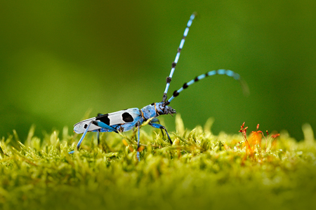 Blue insect in forest. Beautiful blue incest with long feelers, Rosalia Longicorn, Rosalia alpina, in nature green forest habitat, sitting on green larch, Czech republic, longhorn beetle, longicorn. Reklamní fotografie