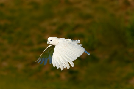 Flying white parrot. Solomons cockatoo, Cacatua ducorpsii, flying white exotic parrot, bird in the nature habitat, action scene from wild, Australia. Bird in fly. White animal from forest.