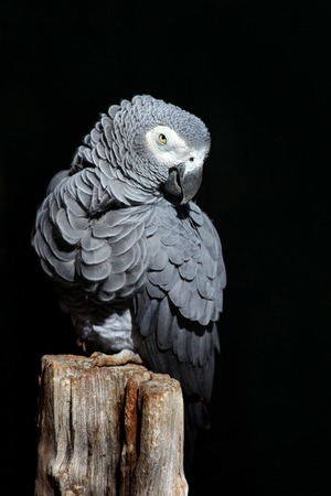 African Grey Parrot, Psittacus erithacus, sitting on the branch. Parrot from Gabon, Africa. Wildlife scene from nature. Parrot in the green tropic forest with dark black background. Parrot, white face. 版權商用圖片