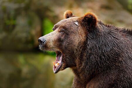 Bear with open muzzle. Portrait of brown bear. Detail face portrait of danger animal. Beautiful big brown bear nature habitat. Dangerous animal in nature forest. Archivio Fotografico