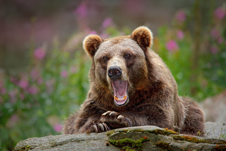 Portrait of brown bear, sitting on the grey stone, pink flowers at the background. Danger animal in the nature habitat, Sweden. Wildlife scene from nature. Bear with open muzzle, tongue and tooth.  Stock Photo