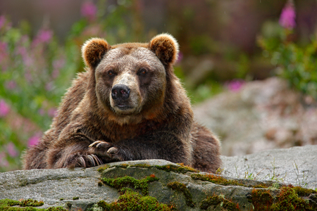 Danger animal in the nature habitat, Russia. Wildlife scene from nature. Bear with open muzzle, tongue and tooth. Portrait of brown bear, sitting on the grey stone, pink flowers at the background.