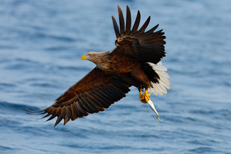 Eagle flying with fish. Beautiful , White-tailed Eagle, Haliaeetus albicilla, flying bird of prey, with sea in background, Kamchatka, Russia. Wildlife action behaviour scene from nature. Bird in fly.