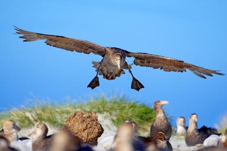 Bird colony. Petrel in flight. Giant petrel, big sea bird on the sky. Bird in the nature habitat. Sea animal from Sea Lion Island, Falkland Island. Action scene on the sky. Blue sky with flying bird.