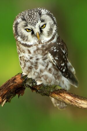 Borel owl in the forest. Small bird Boreal owl sitting on branch, Boreal owl with clear green forest background. Bird in nature habitat, Russia, Boreal owl in nature. Rare owl with big yellow eyes.