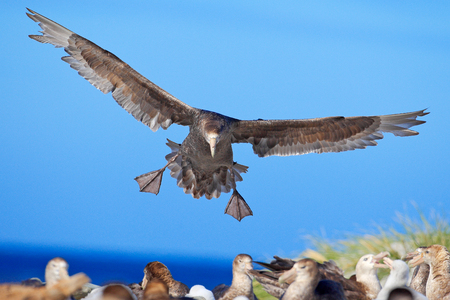 Petrel in flight. Giant petrel, big sea bird on the sky. Bird in the nature habitat. Sea animal from Sea Lion Island, Falkland Island. Action scene on the sky. Blue sky with flying bird. Bird colony.  Imagens