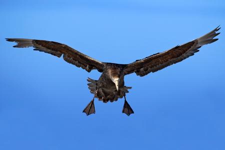 Flying bird. Bird in flight. Giant petrel, big sea bird on the sky. Bird in the nature habitat. Sea bird from Sea Lion Island, Falkland Island. Action scene on the sky. Blue sky with flying bird.