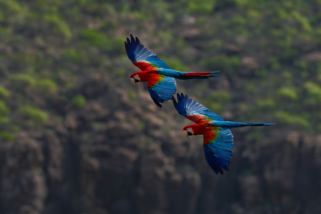 Two big parrot  in fly. Red-and-green Macaw, Ara chloroptera, in the dark green forest habitat. Beautiful macaw parrot from Panatanal, Brazil. Bird in flight. Action wildlife scene from South America.