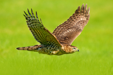 Flying bird of prey Goshawk, Accipiter gentilis, with yellow summer meadow in the background, bird in the nature habitat, action scene, Sweden. Wildlife scene from nature. Animal in the wood.
