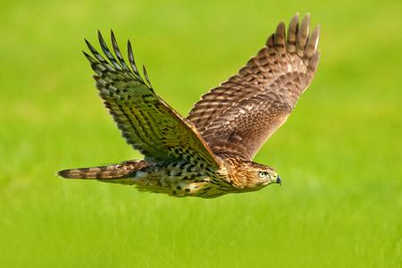 Fliegenraubvogel Habicht, Accipiter gentilis, mit gelber Sommerwiese im Hintergrund, Vogel im Naturlebensraum, Aktionsszene, Schweden. Wildlife-Szene aus der Natur. Tier im Wald. Standard-Bild