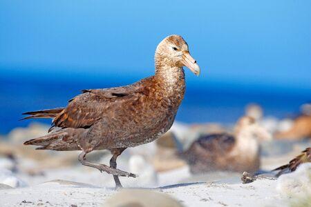 Giant petrel, Macronetes giganticus = giganteus, big sea bird with young in the nest. Bird in the nature habitat. Bird sitting in the white sand beach. Sea Lion Island, Falkland Island. Bird in sand. Stock Photo
