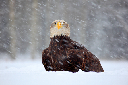 Snow storm with bald eagle. Snowflakes with Haliaeetus leucocephalus, portrait of brown bird of prey with white head, yellow bill.