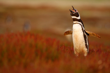 Bird in the grass. Penguin in the red evening grass, Magellanic penguin, Spheniscus magellanicus. Black and white penguin in the nature habitat, Falkland Islands. Beautiful penguin with open bill.