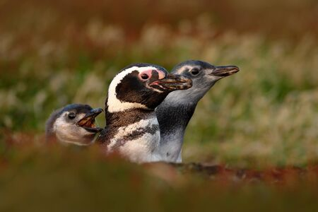 Three birds in the nesting ground hole, baby with mother and father, Magellanic penguin, Spheniscus magellanicus, nesting season, animals in the nature habitat, Argentina, South America. Stock Photo