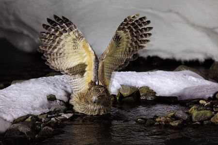 Wildlife scene, winter Hokkaido, Japan. River bird with open wings. Blakistons fish owl, Bubo blakistoni, largest living species of owl, fish owl, a sub-group of eagle. Bird hunting in cold water.