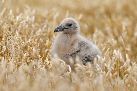 Young hidden brown skua, Catharacta antarctica, water bird sitting in the autumn grass, Norway. Skua in the nature habitat. Bird in the red grass habitat with evening light. Wildlife scene from nature.