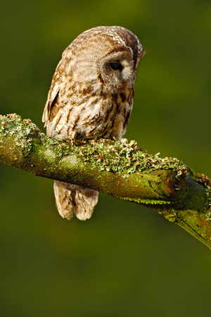 Tawny owl in the forest. Brown bird Tawny owl sitting on tree stump in the dark forest habitat. Beautiful bird sitting on the green lichen branch. Tawny owl with  lichen branch. Bird in the forest.