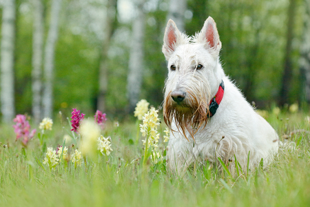 White, wheaten, Scottish terrier, sitting on green grass lawn. Cute home animal in the garden. White dog in the green grass. Dog in the wild orchid in the forest.