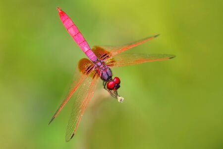 Pink dragonfly from Sri Lanka. Crimson dropwing, Trithemis aurora, sitting on the green leaves. Beautiful dragon fly in the nature habitat. Nice insect from Asia. Summer day in the nature.